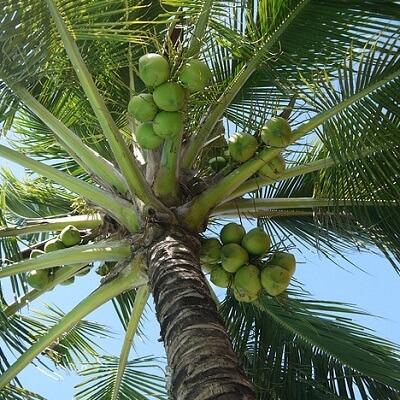 kokosnoot-400×400-compr